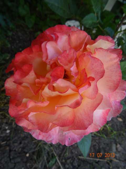 """Rosen - ein Thread für die """"Königin"""" - Seite 4 K640_111"""