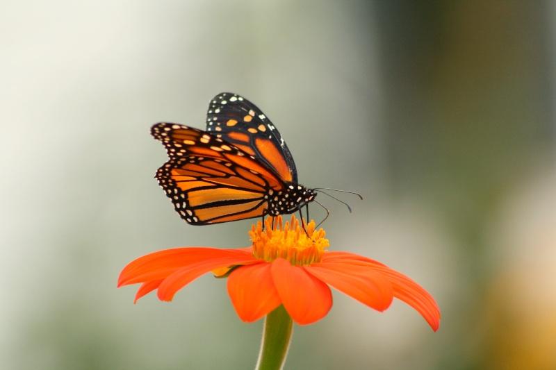 Le roi des papillons Img_4110