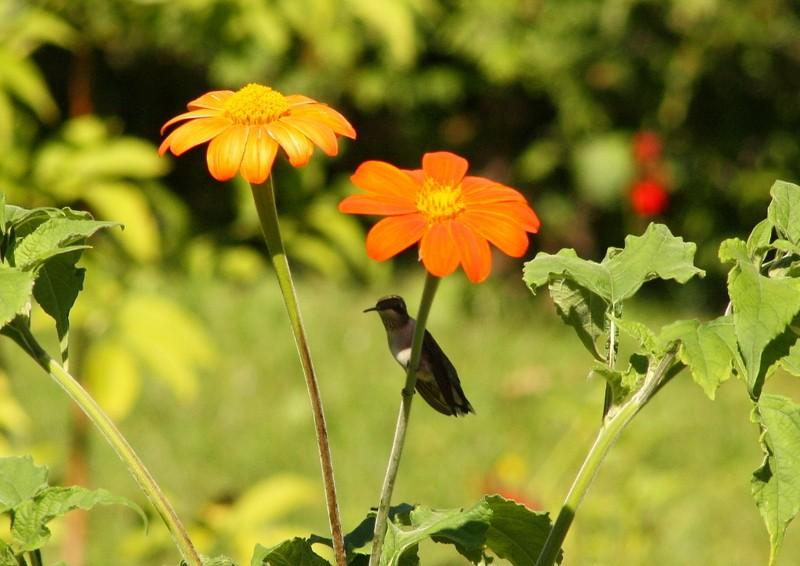 Colibri Img_4112