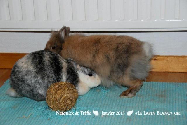 Lapins à l'adoption (Association Le Lapin Blanc) 54930710