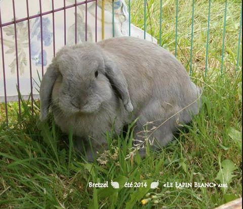 Lapins à l'adoption (Association Le Lapin Blanc) Bretze10