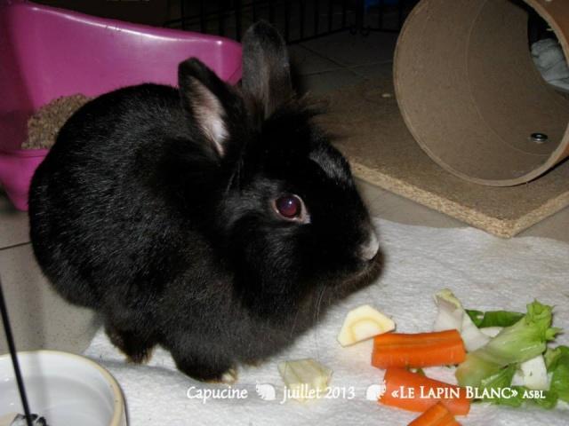 Lapins à l'adoption (Association Le Lapin Blanc) Capuci10