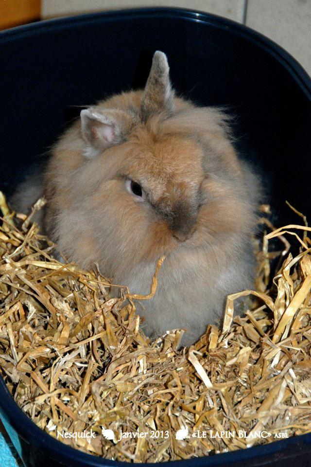 Lapins à l'adoption (Association Le Lapin Blanc) Nesqui10