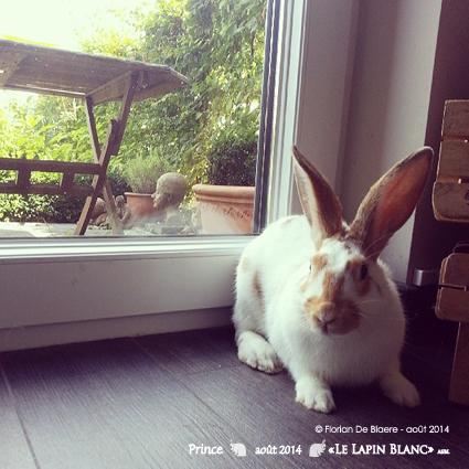 Lapins à l'adoption (Association Le Lapin Blanc) Prince10