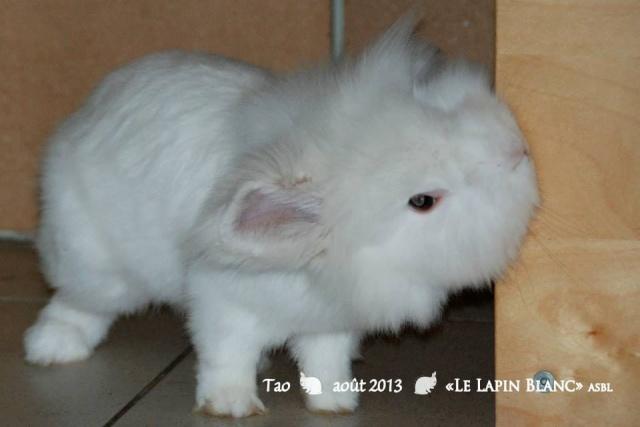Lapins à l'adoption (Association Le Lapin Blanc) Tao10