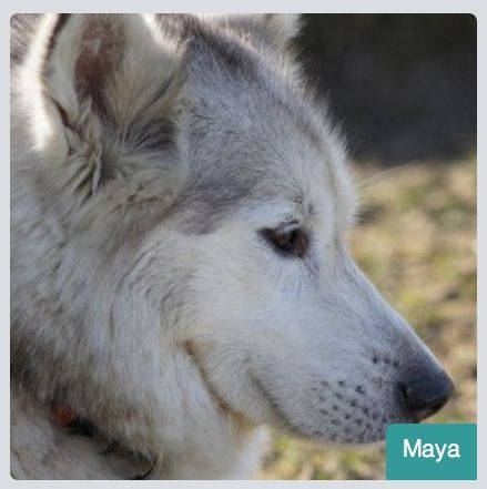 MAYA, HUSKY, gentille, pas de chats née le 29.05.2006 REFU Suisse ADOPTé Maya_10