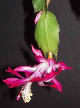 floraison d'un Schlumbergera Hunter10