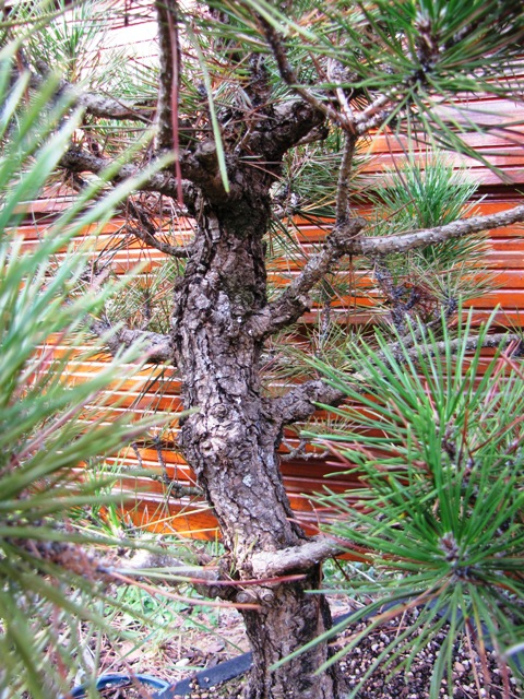 pin noir  thunbergii Img_5714