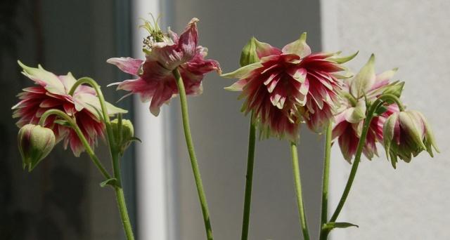 Hahnenfußgewächse (Ranunculaceae) - Winterlinge, Adonisröschen, Trollblumen, Anemonen, Clematis, uvm. - Seite 2 Akelei11