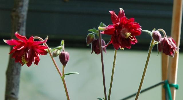 Hahnenfußgewächse (Ranunculaceae) - Winterlinge, Adonisröschen, Trollblumen, Anemonen, Clematis, uvm. - Seite 2 Akelei12