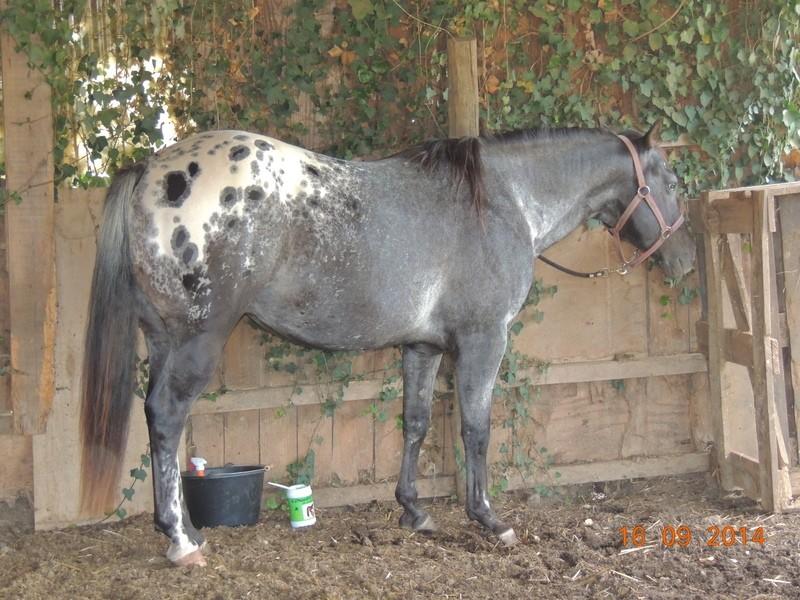 Les chevaux de l'Appaloosa IJ Farm - Page 3 00313