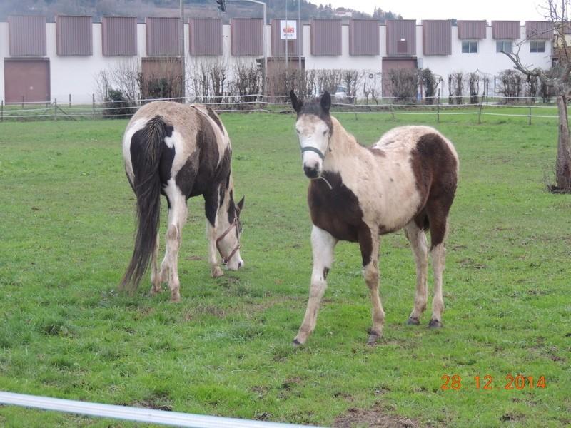Les chevaux de l'Appaloosa IJ Farm - Page 4 00414