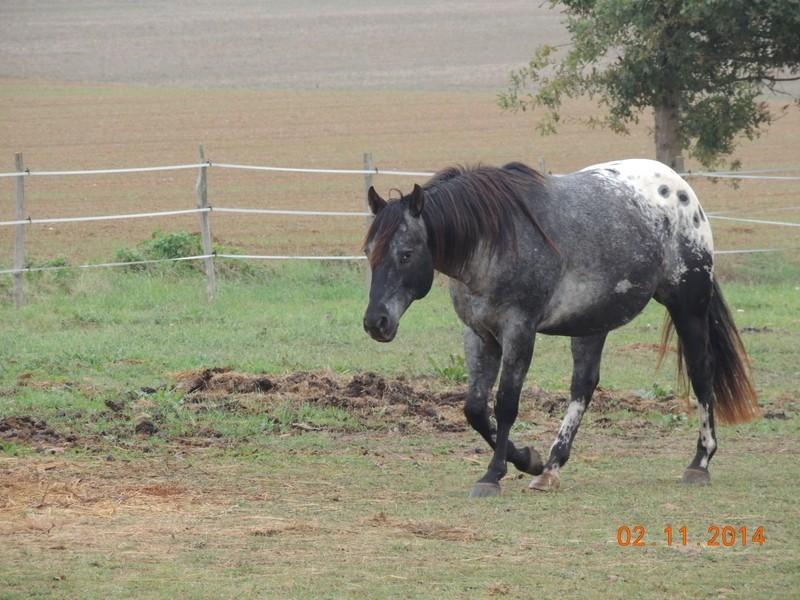 Les chevaux de l'Appaloosa IJ Farm - Page 4 00512