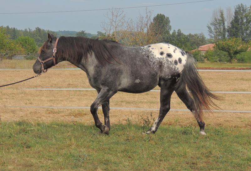 Les chevaux de l'Appaloosa IJ Farm - Page 3 00711