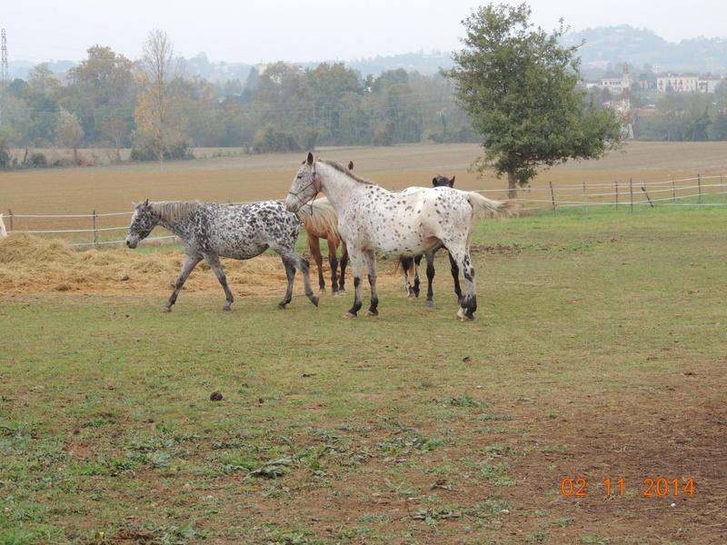 Les chevaux de l'Appaloosa IJ Farm - Page 4 00812
