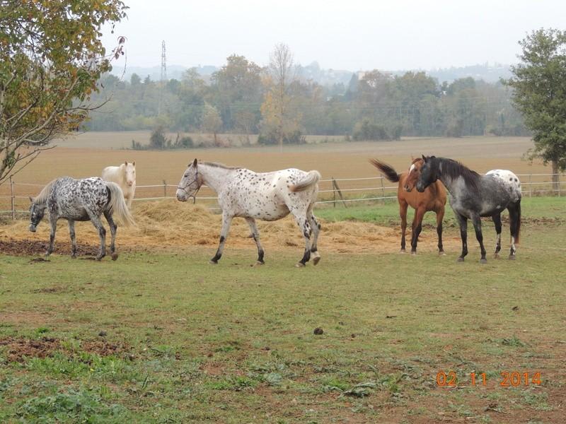 Les chevaux de l'Appaloosa IJ Farm - Page 4 00912