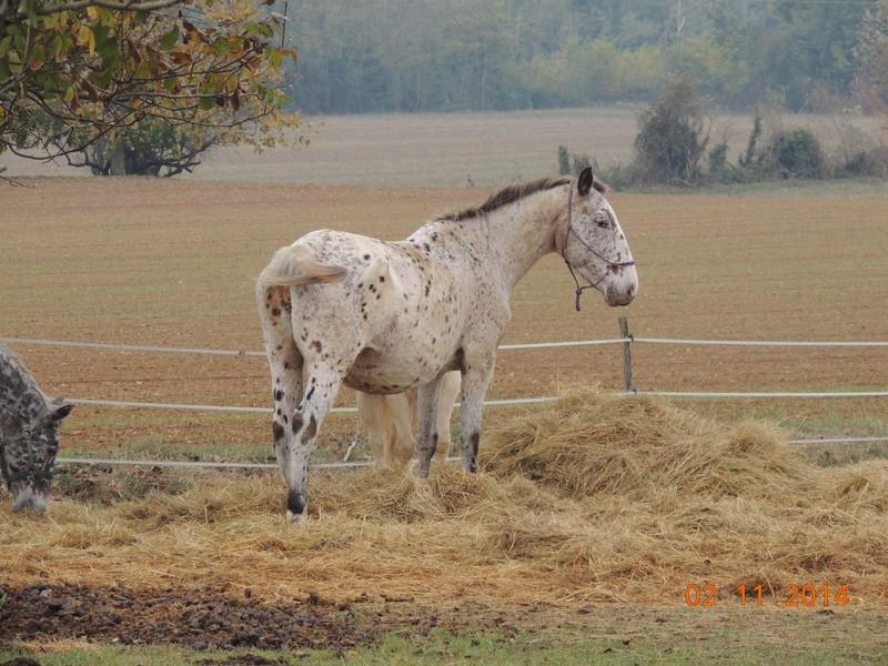 Les chevaux de l'Appaloosa IJ Farm - Page 4 01311