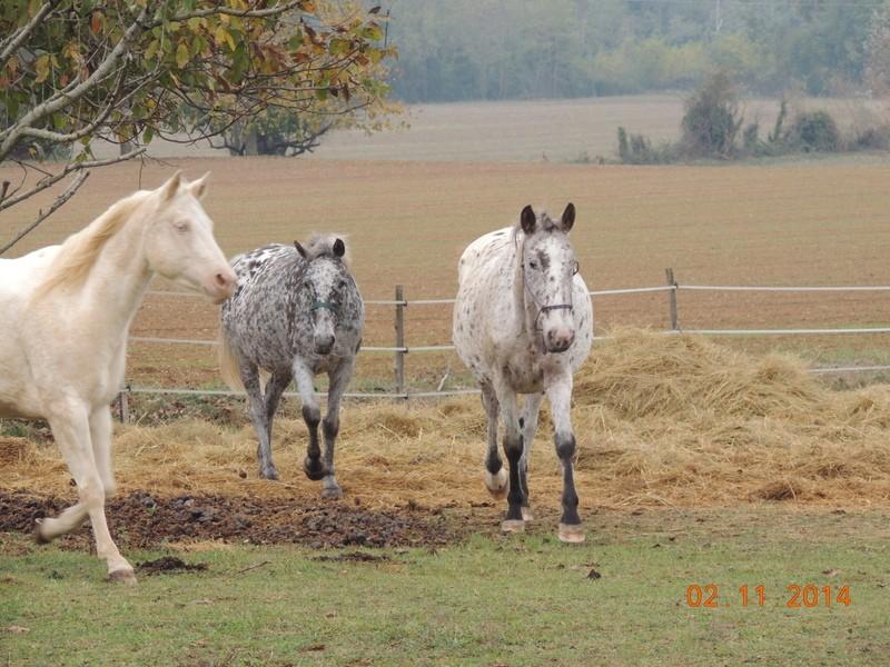 Les chevaux de l'Appaloosa IJ Farm - Page 4 01411