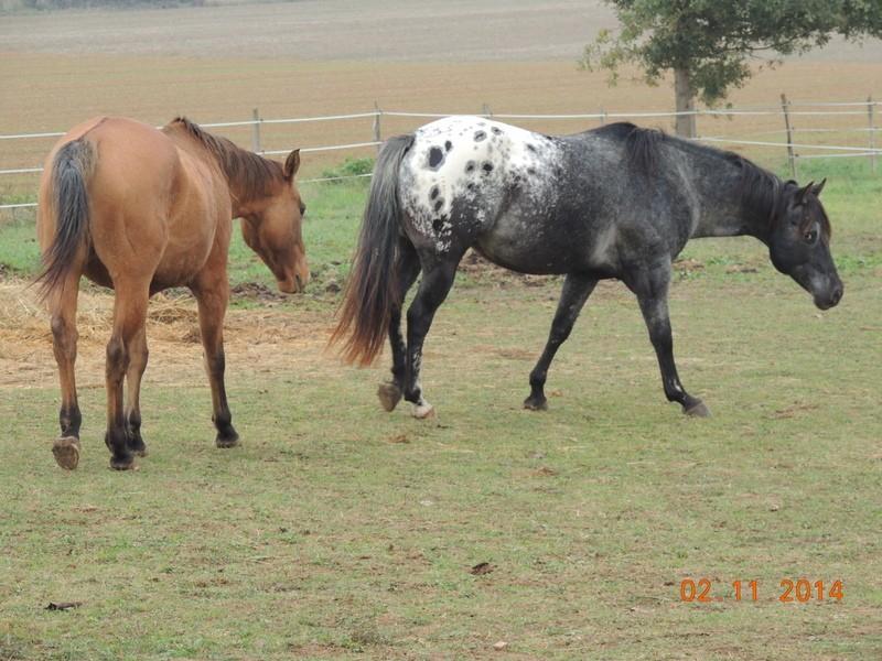 Les chevaux de l'Appaloosa IJ Farm - Page 4 01912