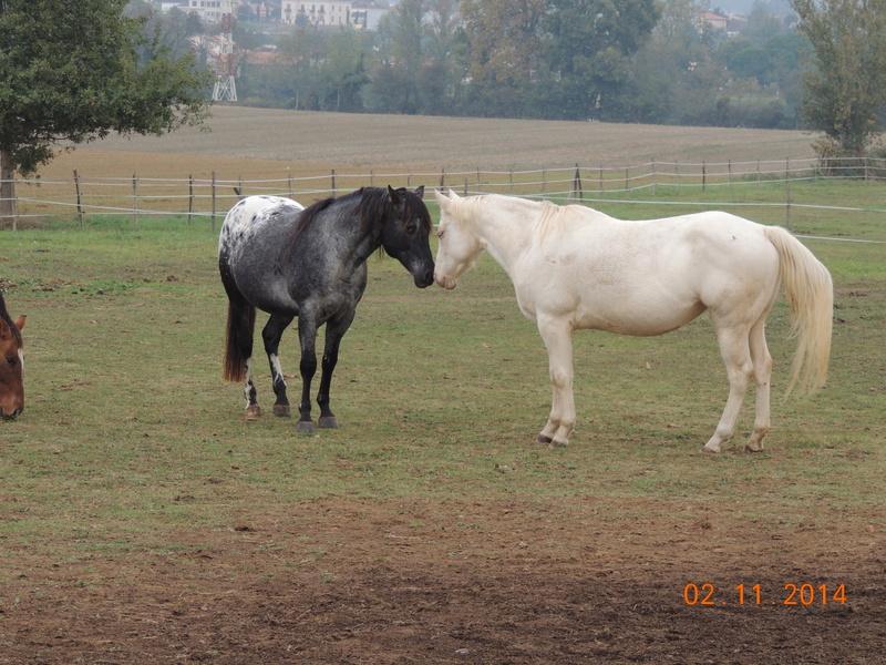 Les chevaux de l'Appaloosa IJ Farm - Page 4 02012