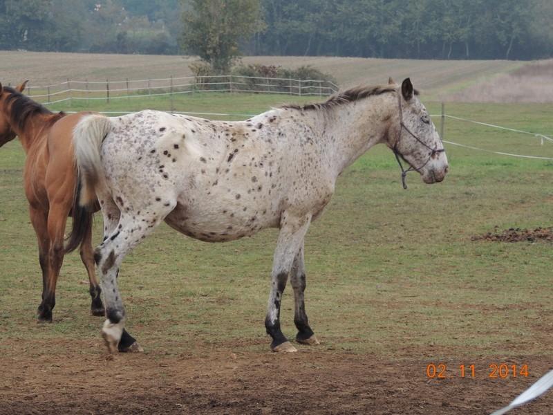 Les chevaux de l'Appaloosa IJ Farm - Page 4 02311