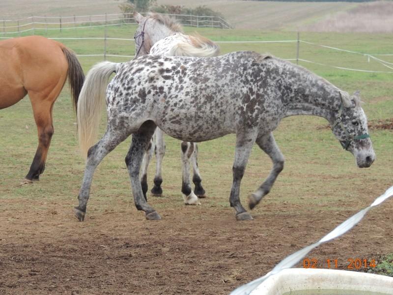 Les chevaux de l'Appaloosa IJ Farm - Page 4 02411