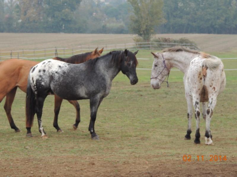 Les chevaux de l'Appaloosa IJ Farm - Page 4 02510