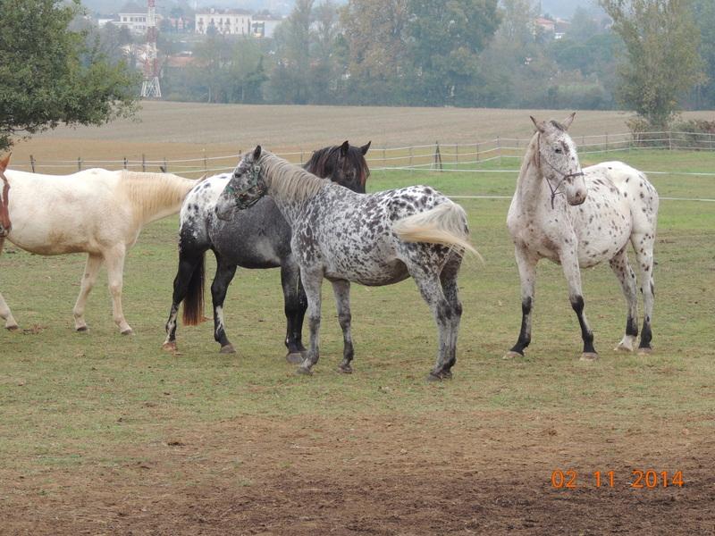 Les chevaux de l'Appaloosa IJ Farm - Page 4 02810