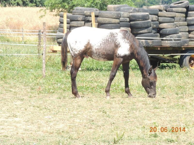 Les poulains né à l'Appaloosa IJ Farm - Page 2 Dodge10