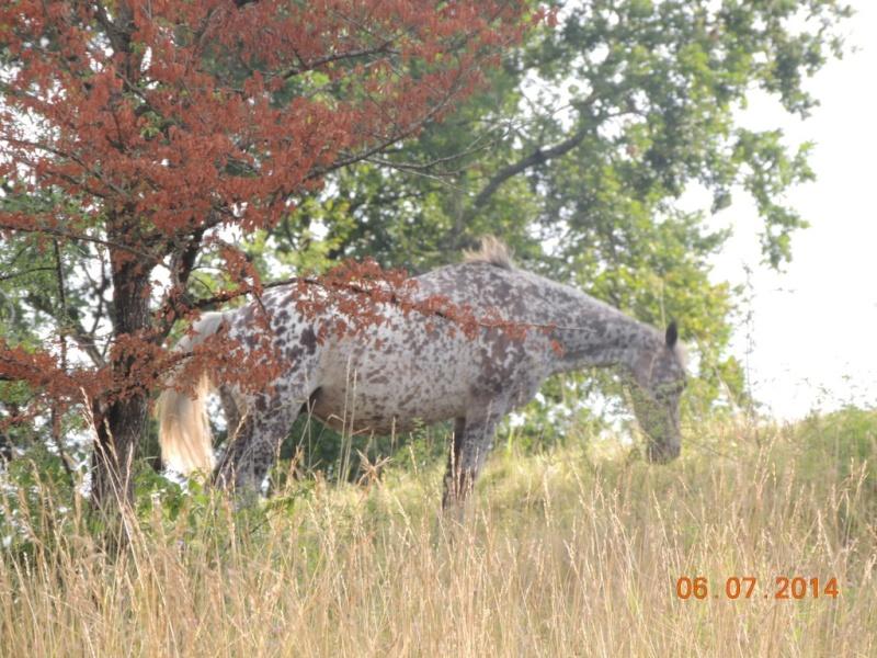 Les chevaux de l'Appaloosa IJ Farm - Page 2 Opium11