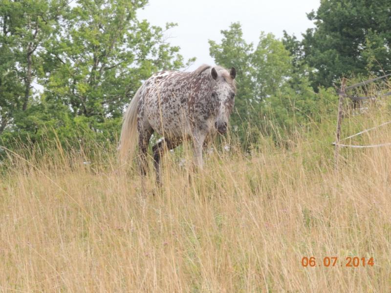 Les chevaux de l'Appaloosa IJ Farm - Page 2 Opium_11