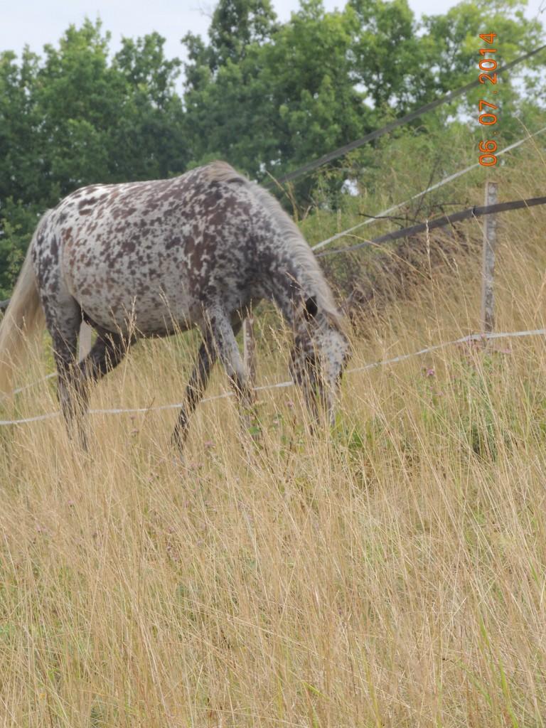 Les chevaux de l'Appaloosa IJ Farm - Page 2 Opium_12