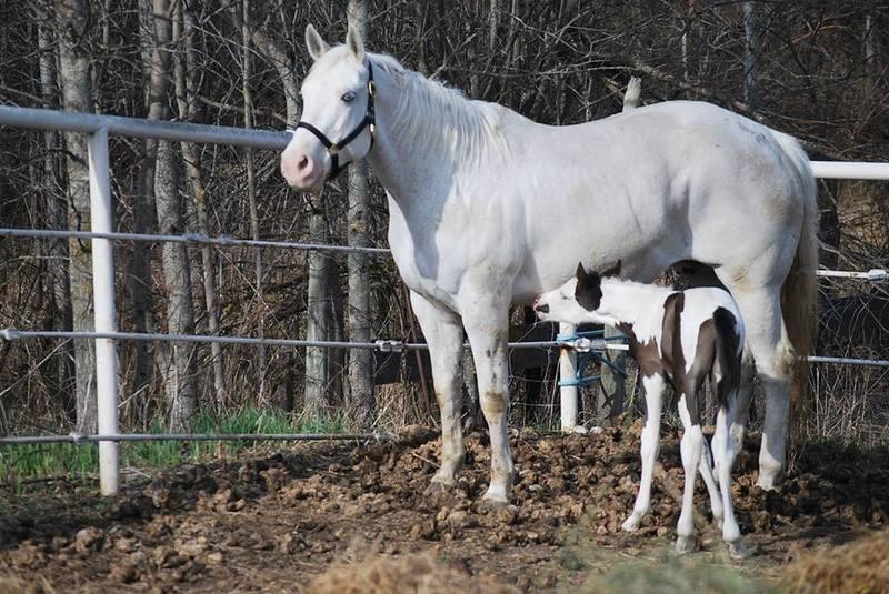 Les chevaux de l'Appaloosa IJ Farm - Page 4 Panzas11