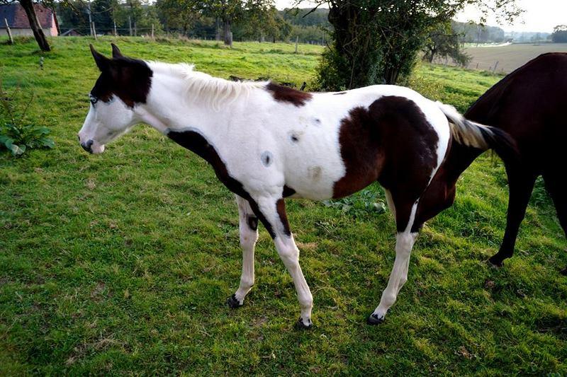 Les chevaux de l'Appaloosa IJ Farm - Page 4 Prince11
