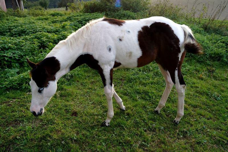 Les chevaux de l'Appaloosa IJ Farm - Page 4 Prince13