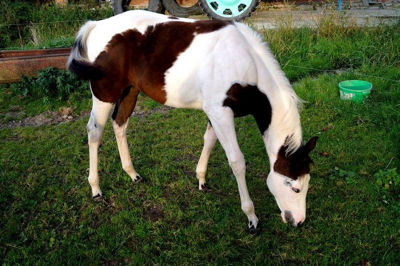 Les chevaux de l'Appaloosa IJ Farm - Page 4 Prince14
