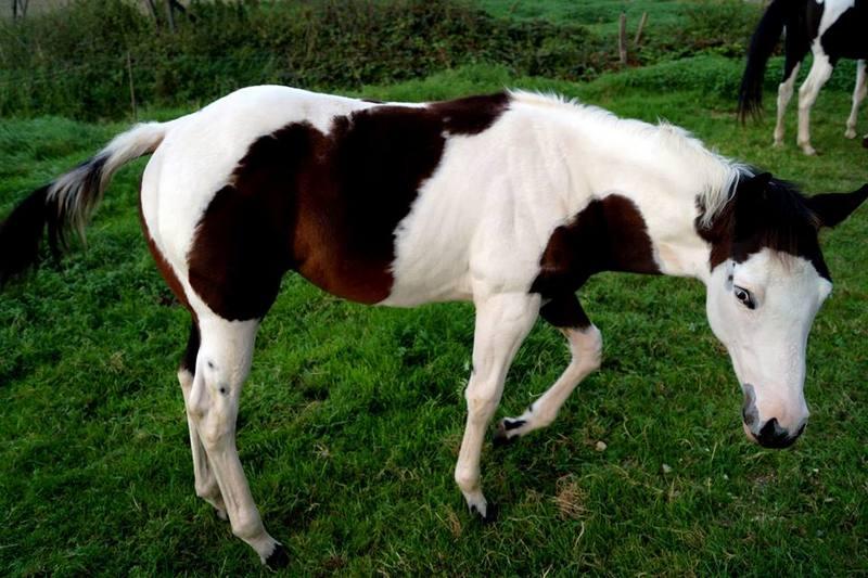 Les chevaux de l'Appaloosa IJ Farm - Page 4 Prince17