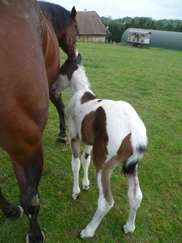 Les chevaux de l'Appaloosa IJ Farm - Page 4 Prince20