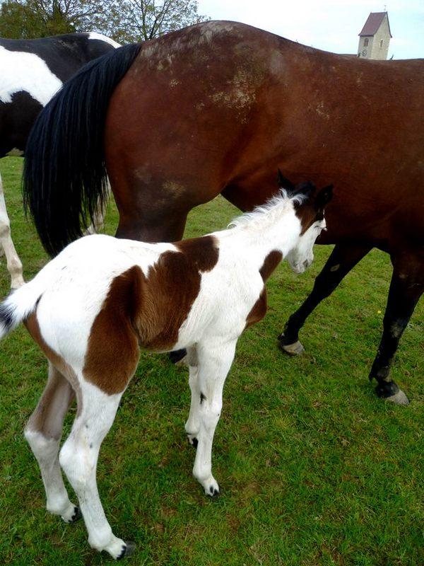 Les chevaux de l'Appaloosa IJ Farm - Page 4 Prince21
