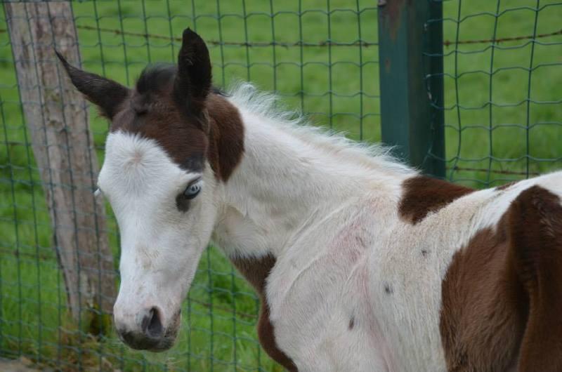 Les chevaux de l'Appaloosa IJ Farm - Page 4 Prince28