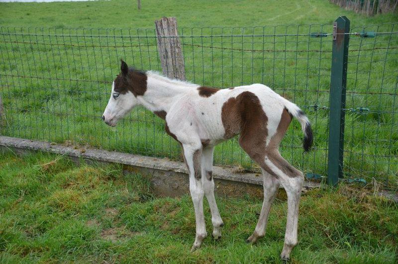 Les chevaux de l'Appaloosa IJ Farm - Page 4 Prince29