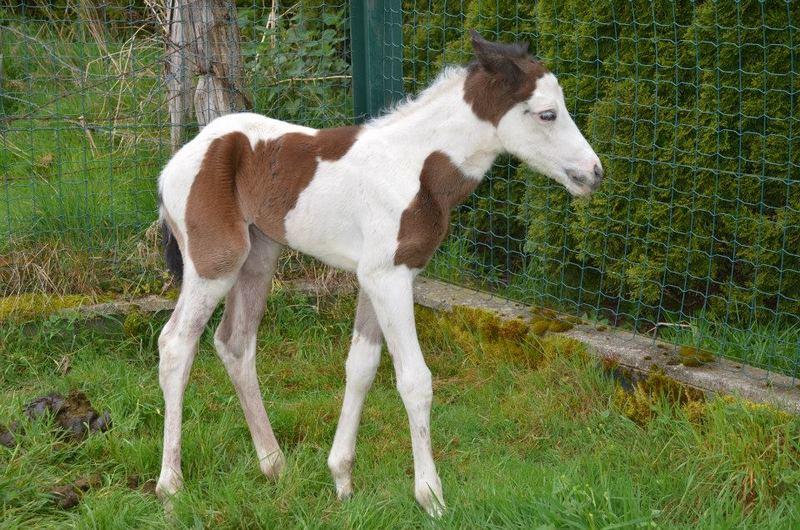 Les chevaux de l'Appaloosa IJ Farm - Page 4 Prince30