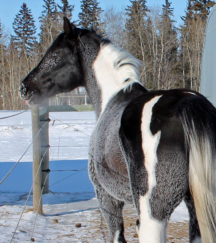 Les chevaux de l'Appaloosa IJ Farm - Page 4 Pyre_d11