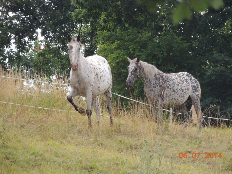 Les chevaux de l'Appaloosa IJ Farm - Page 2 Quairn11