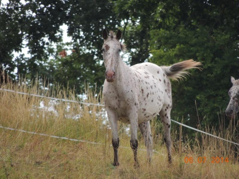 Les chevaux de l'Appaloosa IJ Farm - Page 2 Quarin14