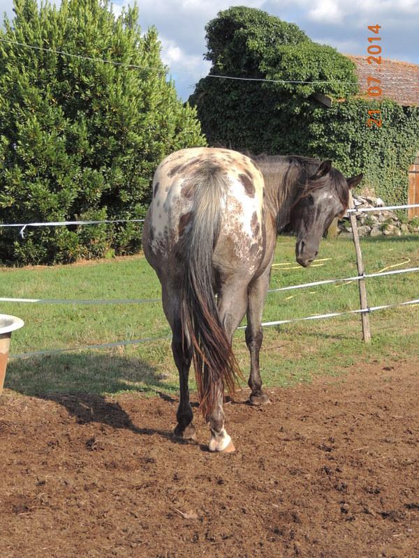Les chevaux de l'Appaloosa IJ Farm - Page 3 Undy11