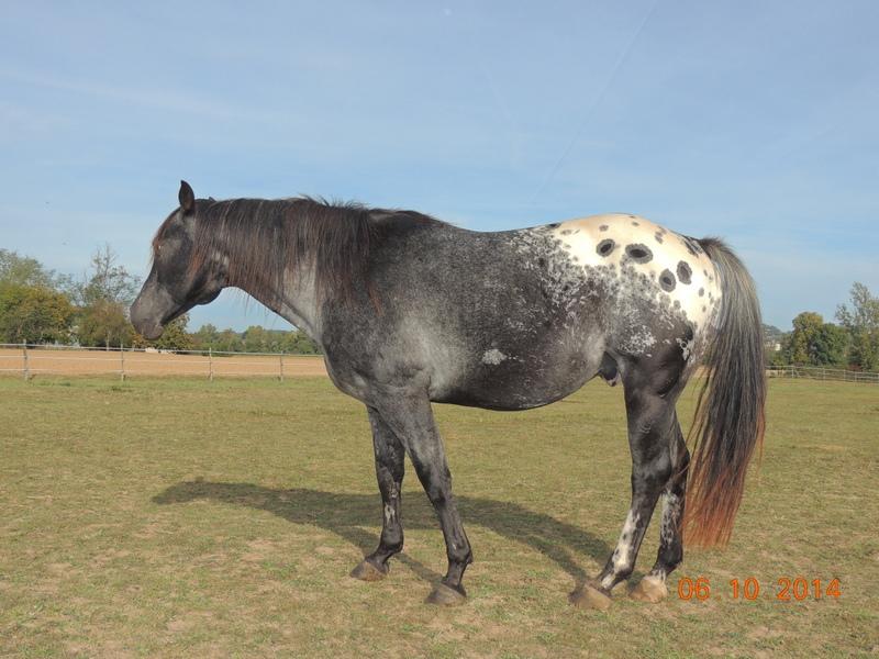 Les chevaux de l'Appaloosa IJ Farm - Page 3 Undy_111