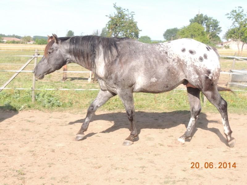 Les chevaux de l'Appaloosa IJ Farm - Page 2 Undy_210