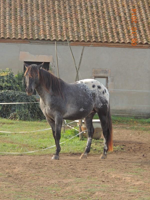 Les chevaux de l'Appaloosa IJ Farm - Page 3 Undy_311