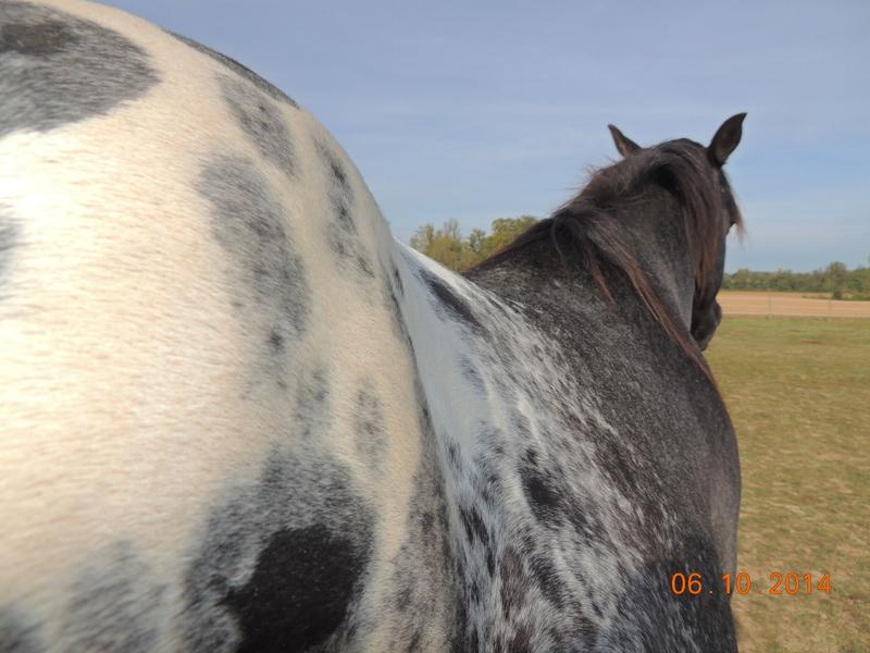 Les chevaux de l'Appaloosa IJ Farm - Page 3 Undy_510